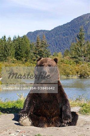 Un gros ours brun mâle s'assoit sur son arrière et ressemble à une caméra avec un étang et des montagnes dans le fond, centre de Conservation de la faune de l'Alaska, l'Alaska Centre-Sud, l'été. En captivité