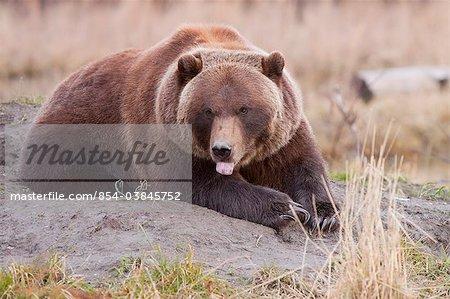 Un Grizzly bear Pond sur un monticule de terre au centre de Conservation de la faune de l'Alaska avec sa langue pendante, centre-sud de l'Alaska, automne. EN CAPTIVITÉ