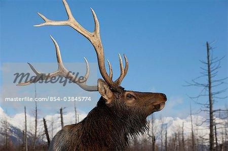 Profile view of a Rocky Mountain Bull Elk at Alaska Wildlife Conservation Center, Southcentral Alaska, Winter. CAPTIVE