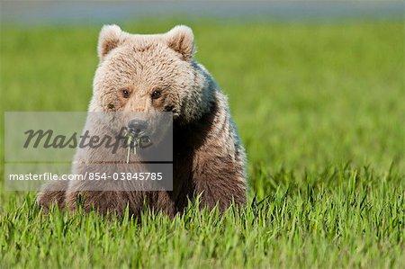 Femelle ours brun se nourrissent de graminées carex à l'été de McNeil rivière état Game Sanctuary, sud-ouest de l'Alaska,