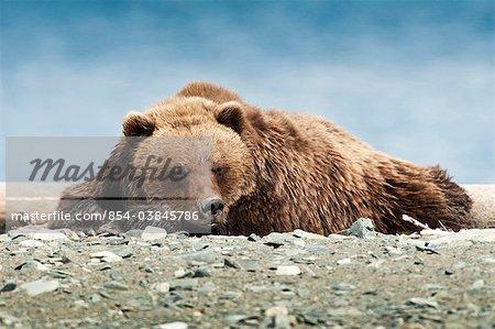 Ours bruns dormir sur la plage de la baie de Kamishak, McNeil rivière état refuge de gibier, sud-ouest de l'Alaska, l'été