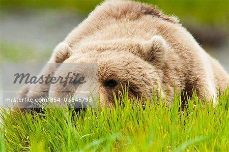 Ours brun reposant sur l'herbe de carex à l'été de McNeil rivière état Game Sanctuary, sud-ouest de l'Alaska,
