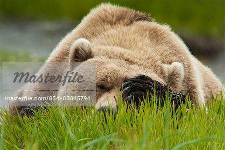 Ours brun reposant sur l'herbe de carex avec patte au-dessus des yeux à l'été de McNeil rivière état Game Sanctuary, sud-ouest de l'Alaska,
