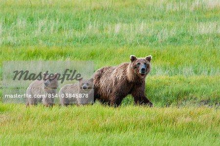 Ours brun ét marche avec ses petits dans un pré herbu, Chinitna Bay, Lake Clark National Park, Alaska du centre-sud, l'été