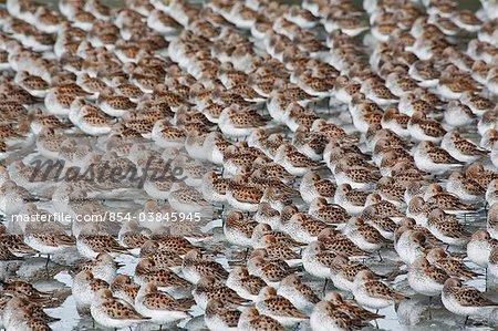 Grand troupeau de Bécasseaux sur les vasières de Hartney Bay pendant Spring migration, Delta de la rivière Copper, Alaska de centre-sud