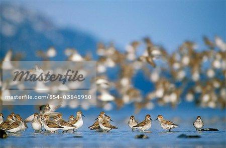Troupeau d'oiseaux de rivage (principalement des Bécasseaux d'Alaska et des Bécasseaux variables) durant le printemps migration, Delta de la rivière Copper, Alaska de centre-sud