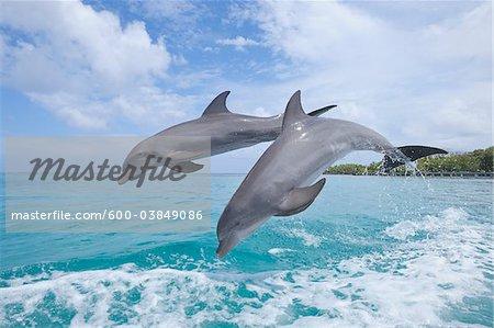 Common Bottlenose Dolphins Jumping in Sea, Roatan, Bay Islands, Honduras