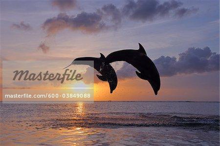 Common Bottlenose Dolphins Jumping in Sea at Sunset, Roatan, Bay Islands, Honduras