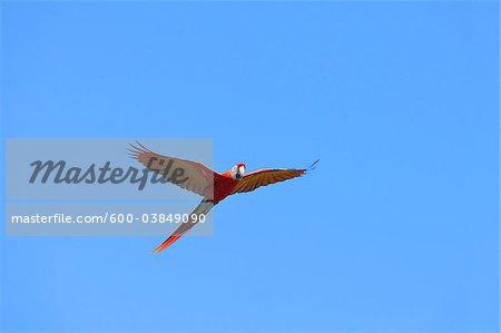 Scarlet Macaw in Flight, Roatan, Bay Islands, Honduras