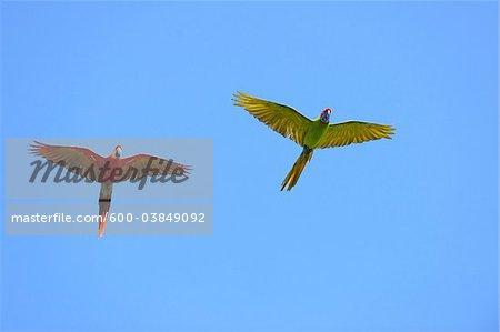 Scarlet Macaw and Great Green Macaw in Flight, Roatan, Bay Islands, Honduras