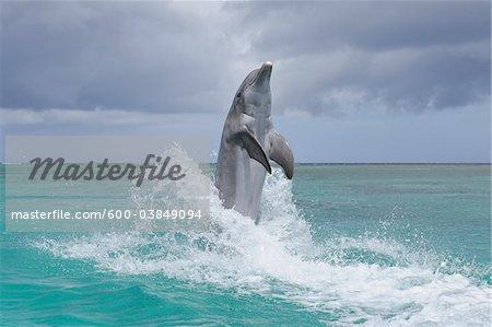 Common Bottlenose Dolphin in Sea, Roatan, Bay Islands, Honduras