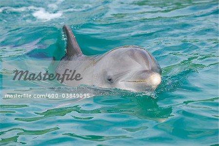 Common Bottlenose Dolphin, Roatan, Bay Islands, Honduras