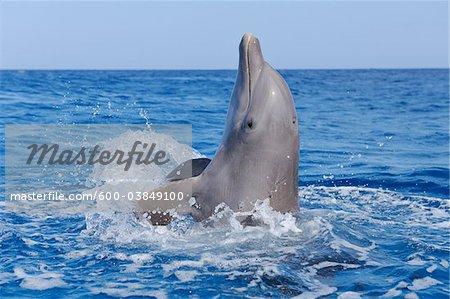 Common Bottlenose Dolphin in Caribbean Sea, Roatan, Bay Islands, Honduras