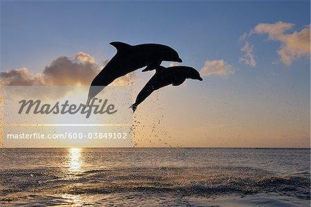 Commune grands dauphins sautant dans la mer au coucher du soleil, Roatan, Bay Islands, Honduras
