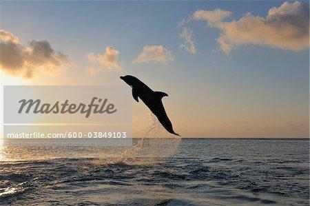 Common Bottlenose Dolphin Jumping in Sea at Sunset, Roatan, Bay Islands, Honduras