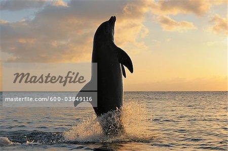 Commune Baleine à bec commune queue de Dauphin-marche, Roatan, Bay Islands, Honduras