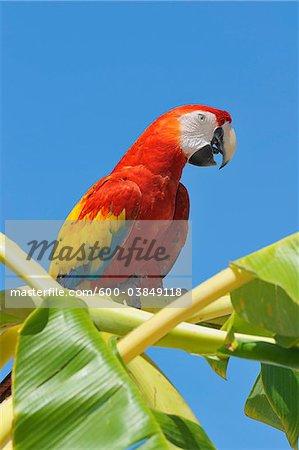 Scarlet Macaw in Banana Tree, Roatan, Bay Islands, Honduras