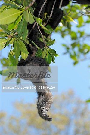 Black Howler Monkey, Roatan, Bay Islands, Honduras