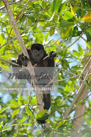 Black Bay Islands singe hurleur, Roatan, Honduras