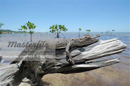 American Crocodile on Log,  Roatan, Bay Islands, Honduras