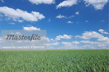 Green Wheat field dramatic cloud sky. Franconia, Bavaria, Germany.