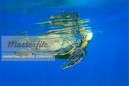 Vue sous-marine de Green Sea Turtle, Maui, Hawaii, USA