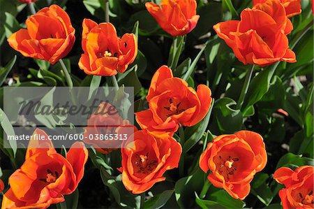Tulips, Meersburg, Baden-Wurttemberg, Germany