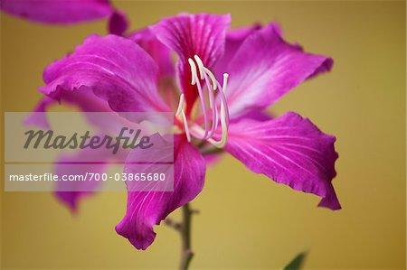 Hongkong Orchid Baum Blüte, Kauai, Hawaii, USA