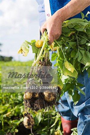 New potatoes, Skane, Sweden.