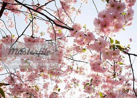 Cherry-blossom, Sweden.