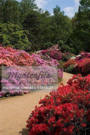 Azaleas and rhododendrons, Isabella Plantation, Richmond Park, Richmond, Surrey, England, United Kingdom, Europe