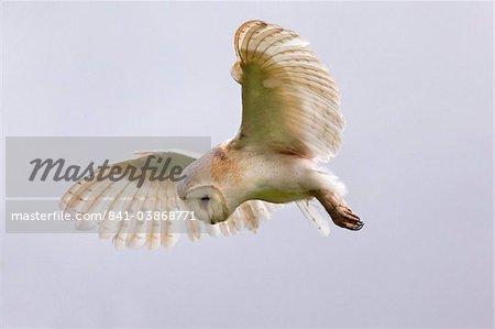 Barn owl (Tyto alba) in flight, in captivity, Cumbria, England, United Kingdom, Europe