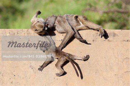 Babouins Chacma (Papio cynocephalus ursinus) jouant, Kruger National Park, Mpumalanga, Afrique du Sud, Afrique