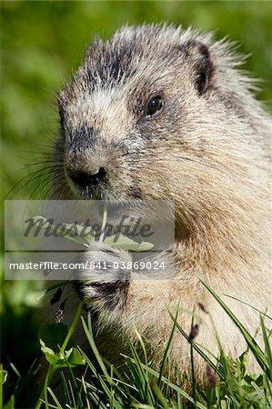 Marmotte (Marmota caligata) manger, Glacier National Park, Montana, États-Unis d'Amérique, l'Amérique du Nord