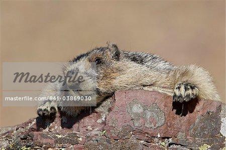 Marmotte (Marmota caligata), Glacier National Park, Montana, États-Unis d'Amérique, l'Amérique du Nord