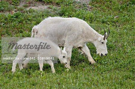 Chèvre de montagne (Oreamnos americanus) nounou et kid, Glacier National Park, Montana, États-Unis d'Amérique, l'Amérique du Nord