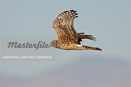 Northern femelle Busard Saint-Martin (Circus cyaneus) en vol, Sonny Bono Salton Sea National Wildlife Refuge, Californie, États-Unis d'Amérique, l'Amérique du Nord