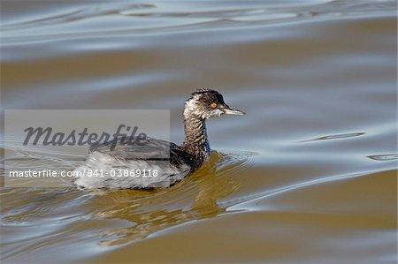 Eared Grebe (Podiceps nigricollis) flottant, Sonny Bono Salton Sea National Wildlife Refuge, Californie, États-Unis d'Amérique, Amérique du Nord