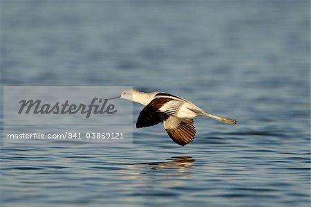Avocette d'Amérique (Recurvirostra americana) en vol, Sonny Bono Salton Sea National Wildlife Refuge, Californie, États-Unis d'Amérique, l'Amérique du Nord