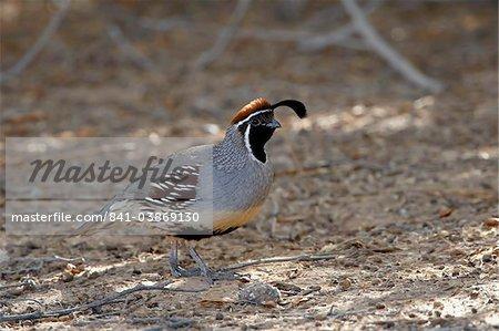 Mâle de Gambel (Callipepla gambelii), Sonny Bono Salton Sea National Wildlife Refuge, Californie, États-Unis d'Amérique, North America