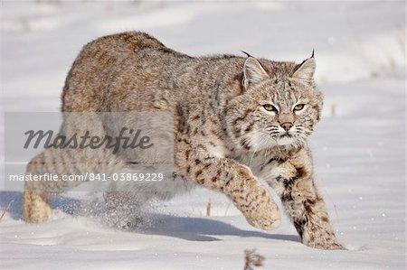 Bobcat (Lynx rufus) in the snow, in captivity, near Bozeman, Montana, United States of America, North America