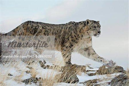 Léopard des neiges (Uncia uncia), en captivité, près de Bozeman, Montana, États-Unis d'Amérique, l'Amérique du Nord
