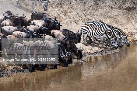 Troupeau de gnous (bringé gnu) (Connochaetes taurinus) et communes (Equus burchelli) de zèbres (zèbre de Burchell) boire à la rivière Mara, Masai Mara National Reserve, Kenya, Afrique de l'est, Afrique