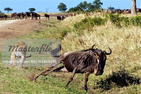 Femelle lion (Panthera leo) chasse les gnous, Masai Mara National Reserve, Kenya, Afrique de l'est, Afrique