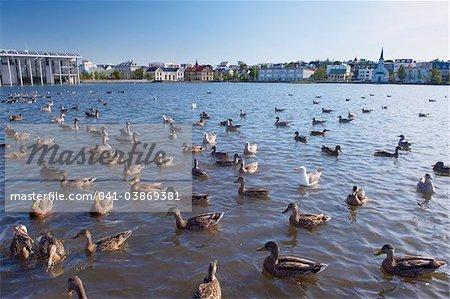 Ducks and geese on Tjornin Lake, in the center of Reykjavik, Iceland, Polar Regions