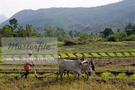 Labourer un champ agricole, Marayoor, Kerala, Inde, Asie