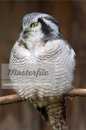 Northern hawk owl (Surnia ulula) portrait, controlled conditions, United Kingdom, Europe