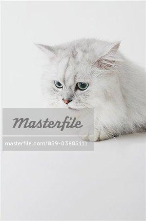Weisse lange Haare Katze, Studioaufnahme