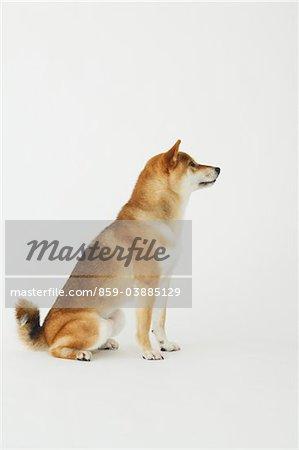 Shiba-Ken Hund sitzend