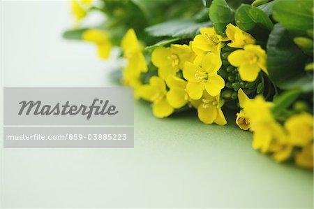 Fleurs du viol d'épinards moutarde japonaise